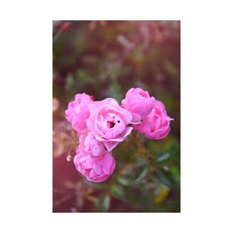 Rose et pétales